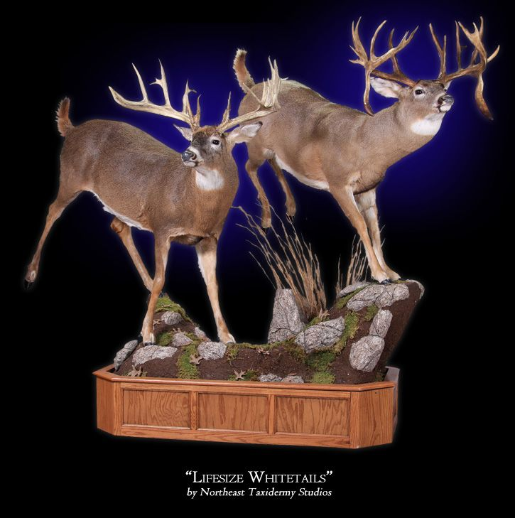 taxidermy studio life size whitetails mount by northeast taxidermy studios