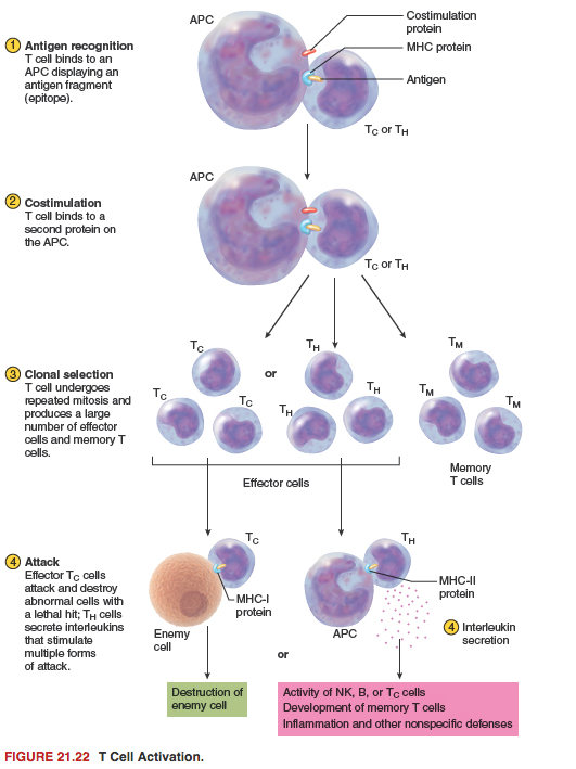 Cellular Immunity Is Cell