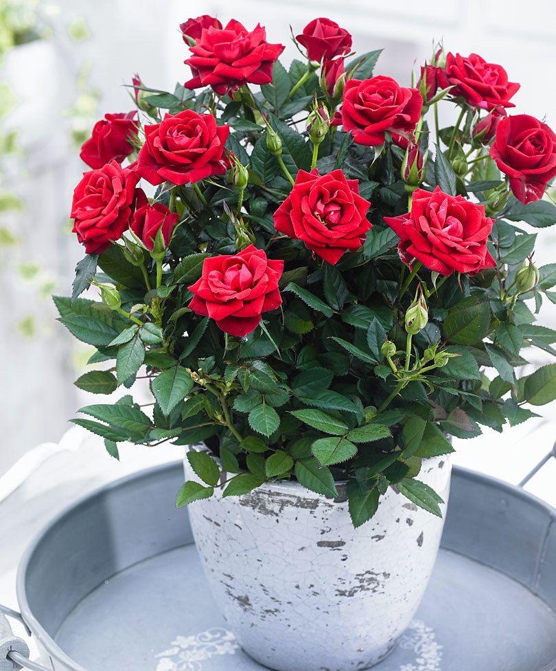 Полный Роза домашняя в горшке: Как ухаживать в домашних ...