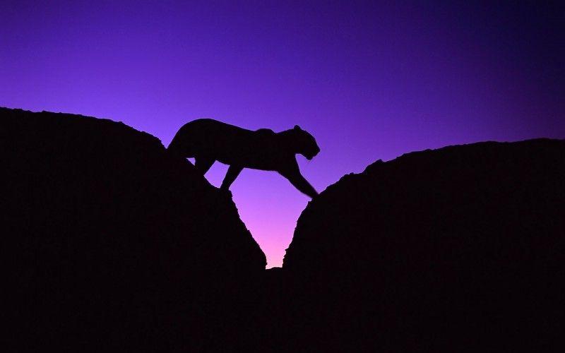 animales de la noche siluetas de los leopardos africanos fondos de ...