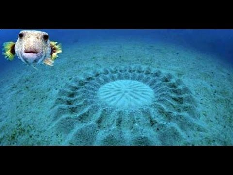 Amazing Puffer Fish Carves Beautiful Symmetrical Circles