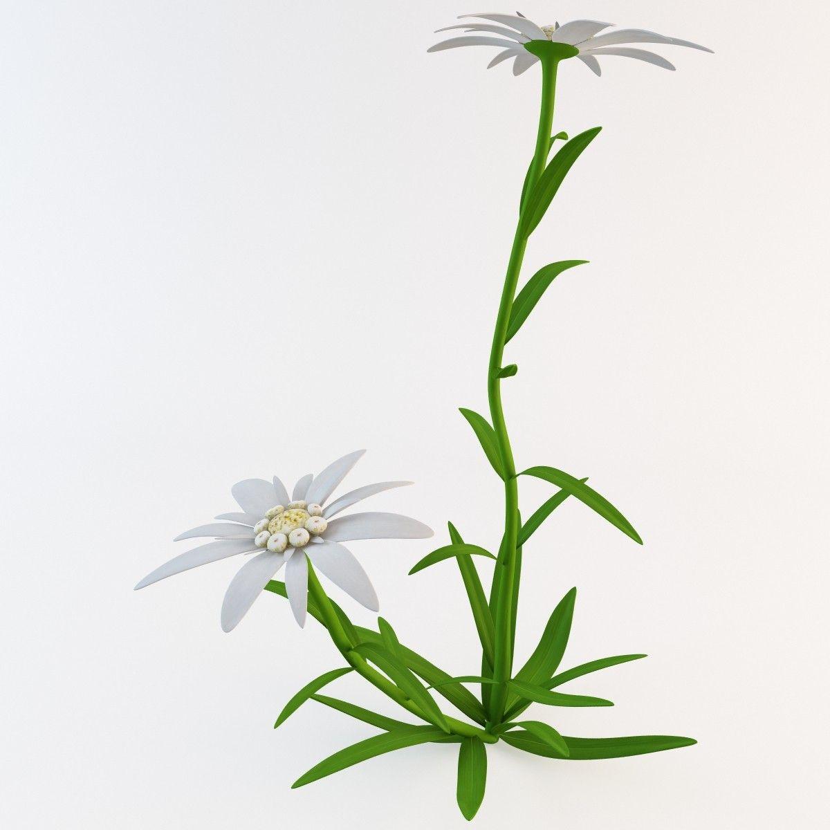 цветок эдельвейс картинки на прозрачном фоне заметили