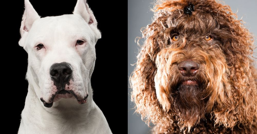 American Kennel Club Kicks Off The New Year With Two Brand New Breeds In 2020 With Images American Kennel Club Breeds Purebred Dogs
