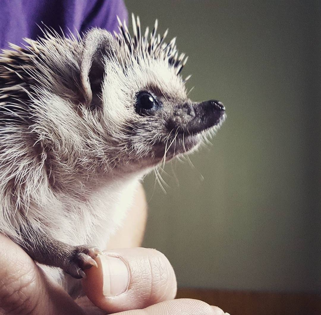 Hedgehog Pictures She Has A Triangular Face With A Cleft