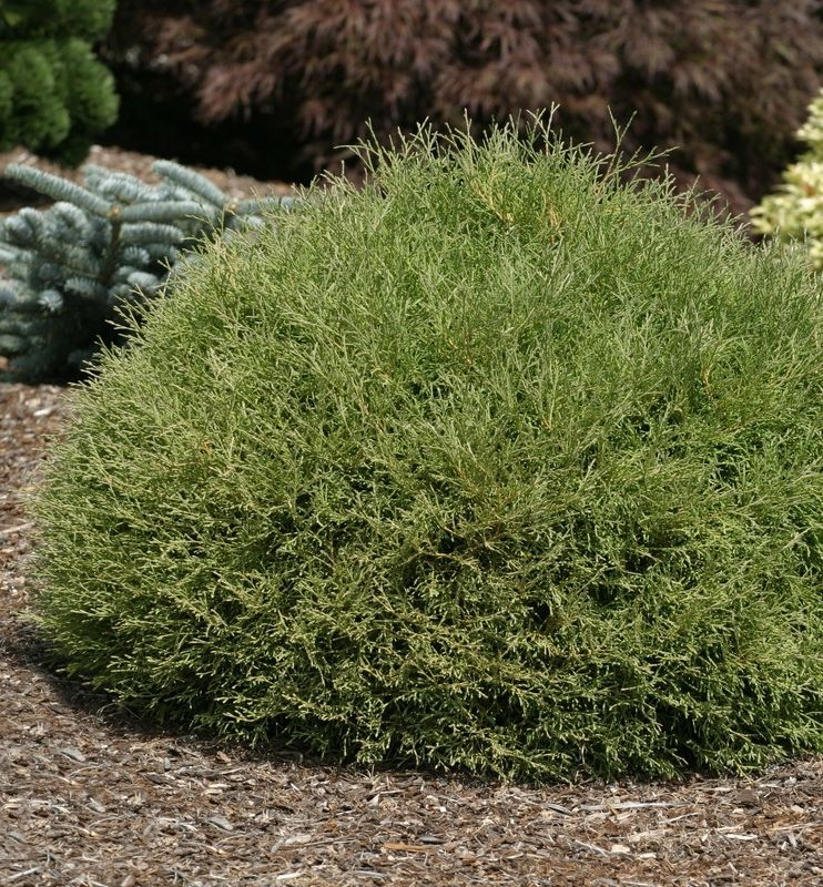 A perfect compact ball shaped evergreen with sage green