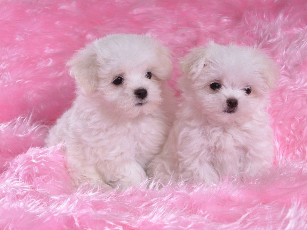 Puppies Wallpaper Dogs and Puppies Pinterest