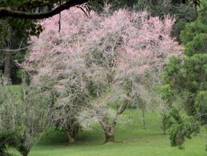 Taman Sakura Kebun Raya Cibodas Pada 2004 Kebun Raya