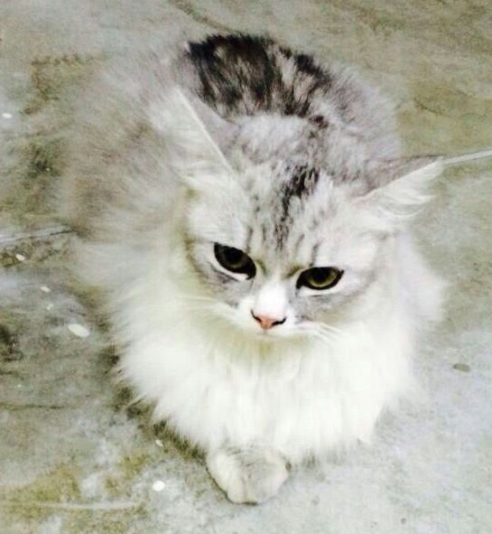 Name Of Pet Miki Breed Chichilla Persian Cat Color Grey And White The Stomach Legs Like Wearing Socks Gender Female Age One Persian Cat Cats Cat Colors