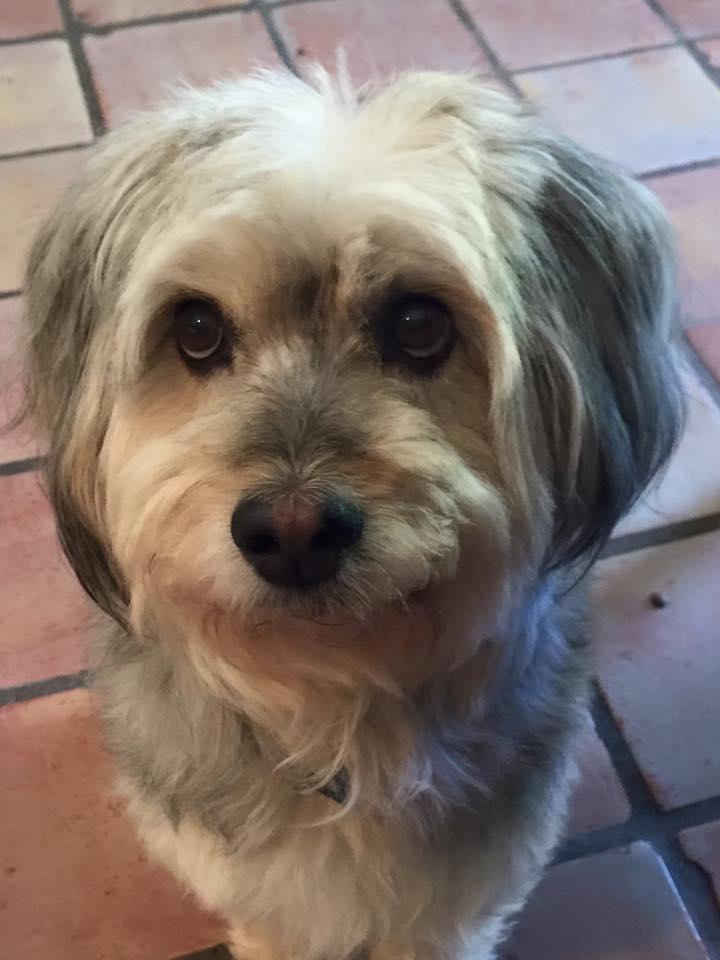 Adopt Chicory on Tibetan terrier, Adoption, Terrier dogs