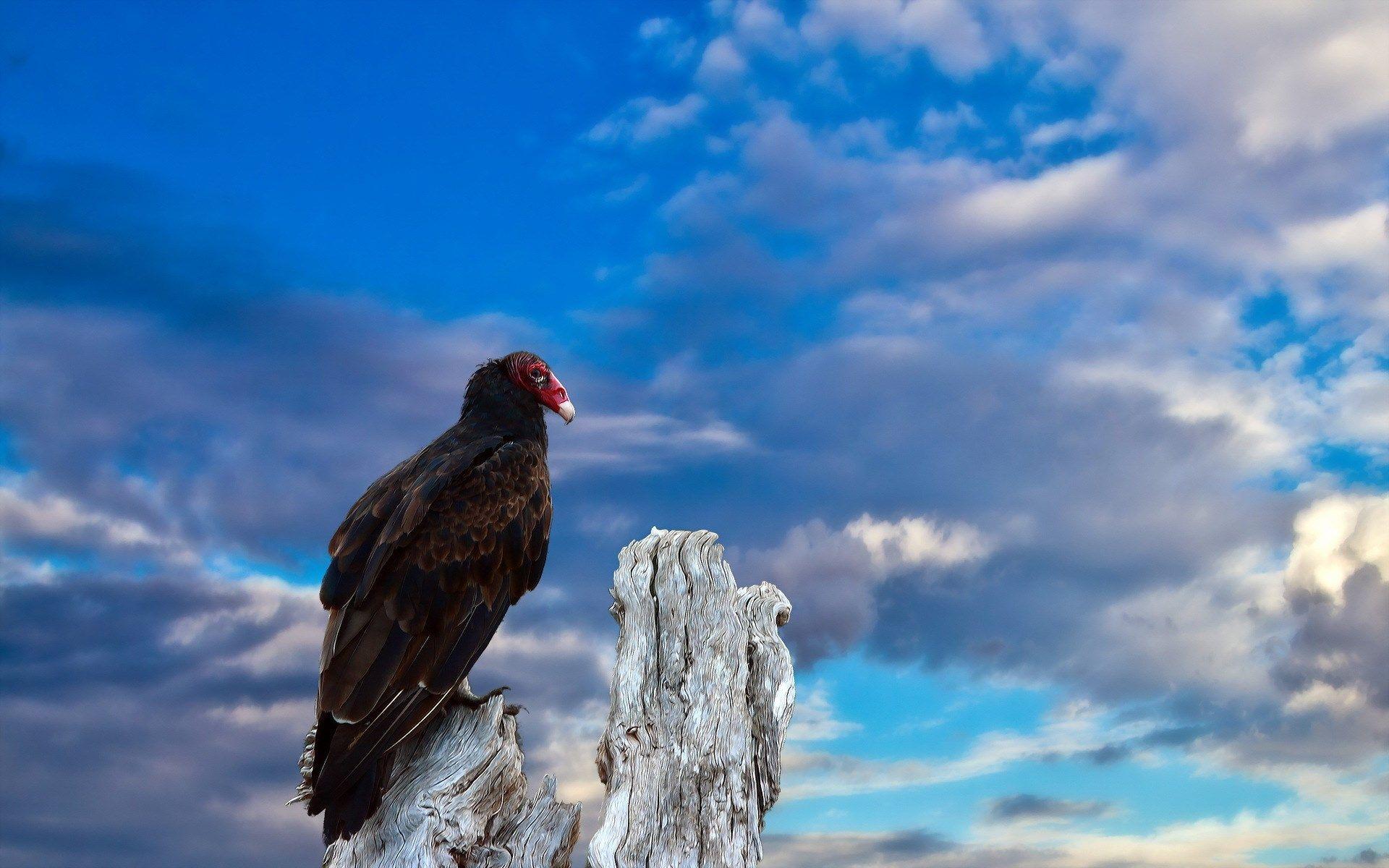 Beautiful turkey vulture