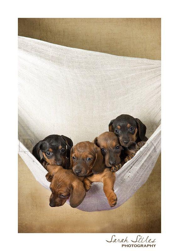 Dachshund Puppies Utah And Idaho Pet Photographer Dachshund