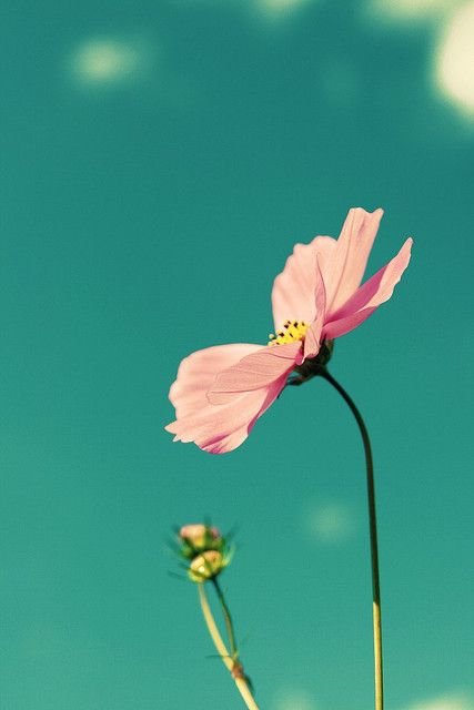 Clip Clip Cosmos By Chibi Busy Again Sorry On Flickr Flowers Flower Power Language Of Flowers