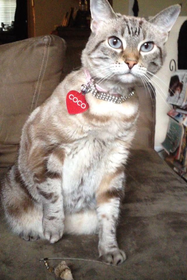 Coco Chanel Cat