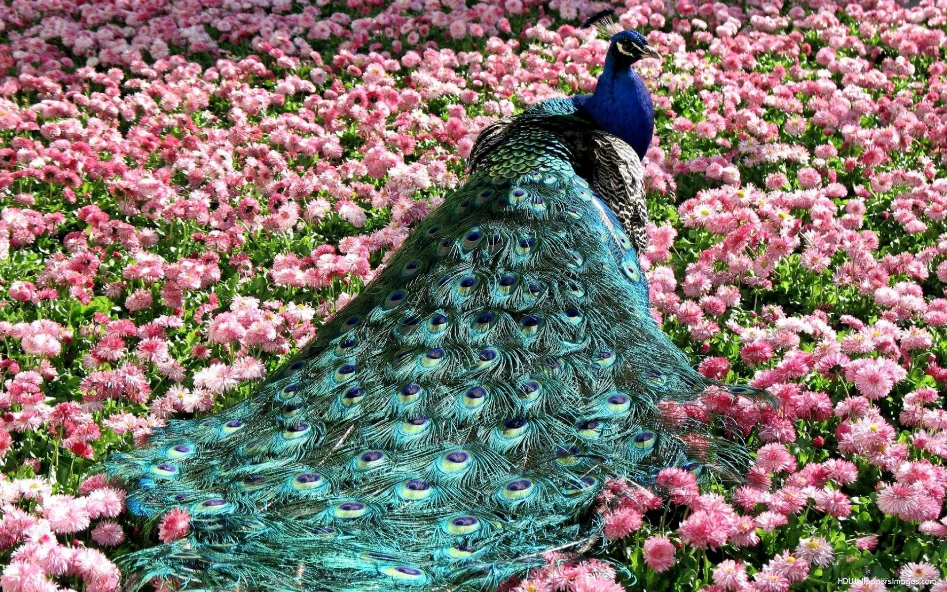 peacock Google Search Beautiful birds