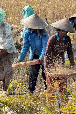 Rice Harvest Indonesia Agriculture Photography Andaman And Nicobar Islands Indonesia