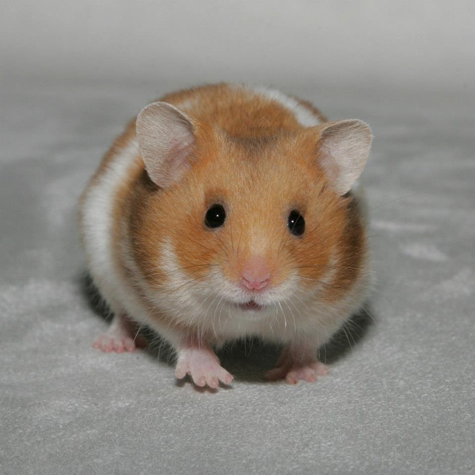 Syrian Hamster Cute Hamsters
