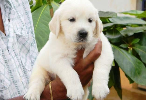 Golden Retriever Puppies For Sale In Chennai Zoe Fans Blog