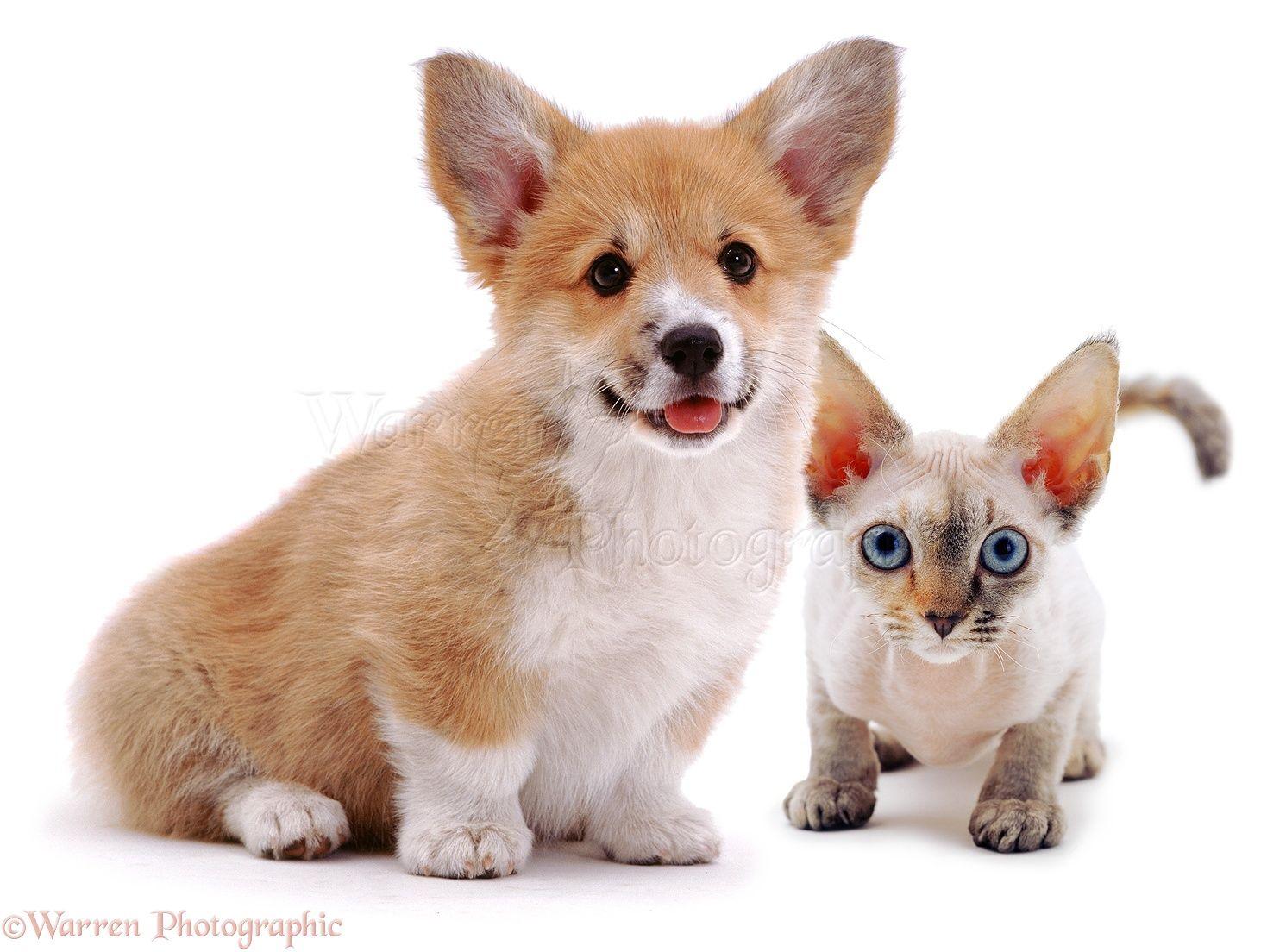 Image result for CORGI CAT Animals and Birds Pinterest