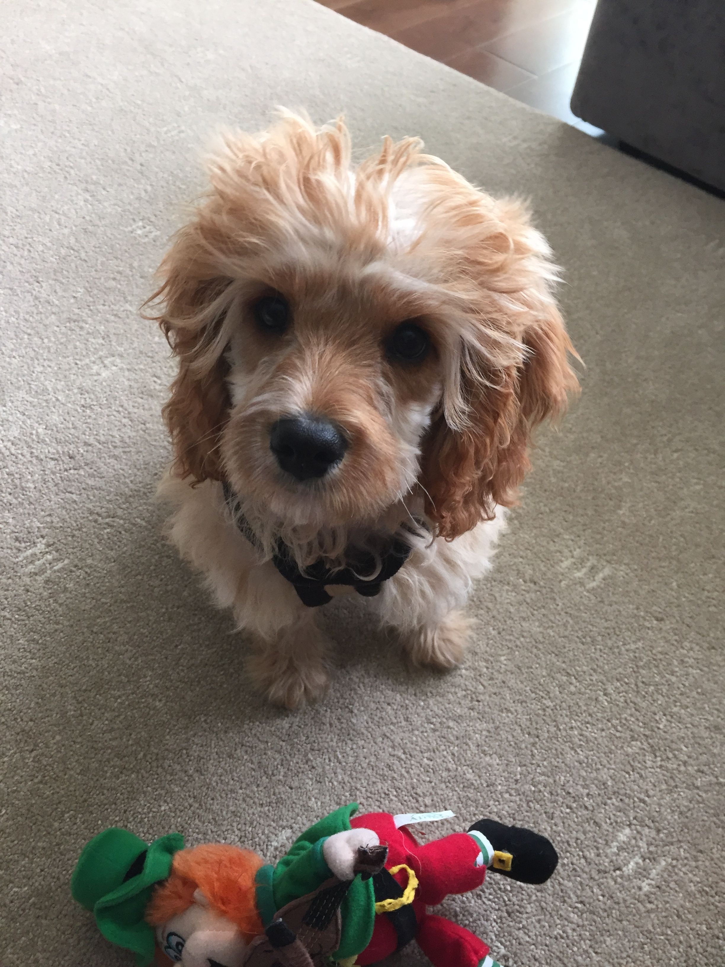 My Cavoodle, Chester. 8 weeks old. Poedel