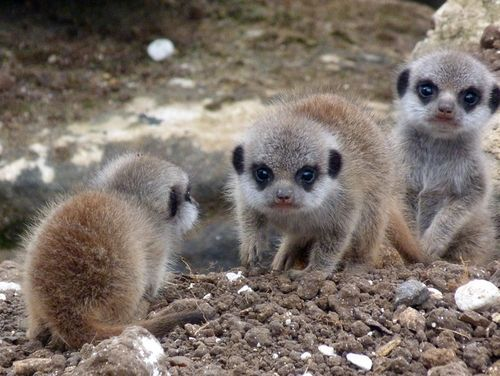 Meet Marwell Wildlife Park S New Meerkat Babies Animal Kindom