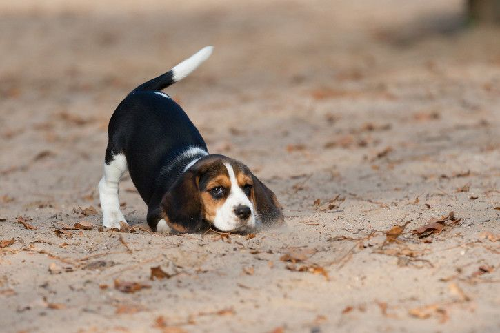 22 Photos Of Beagle Puppies That Will Make Your Heart Stop With
