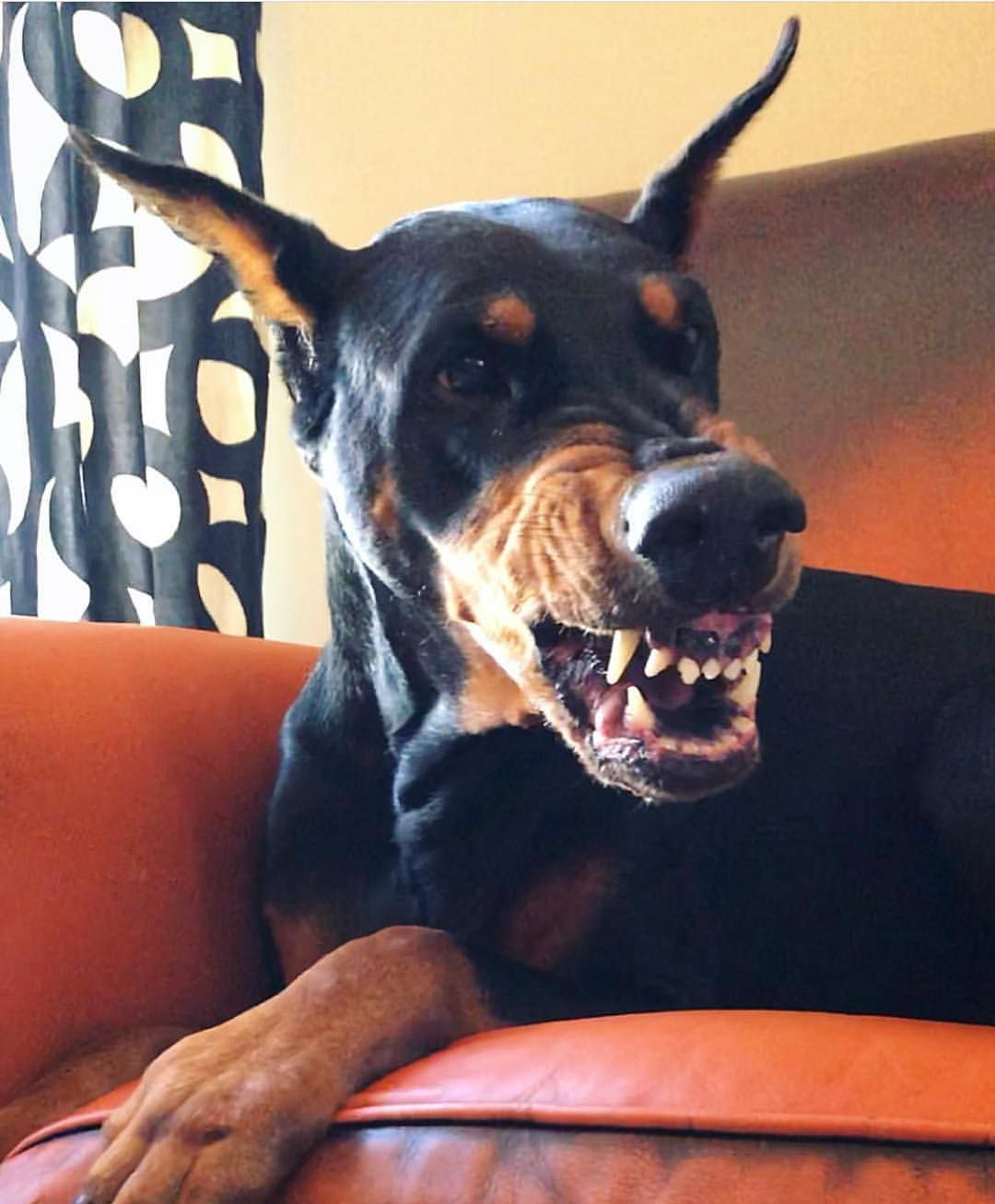 Before Coffee Veryvincenty Doberman Pinscher Dog Doberman