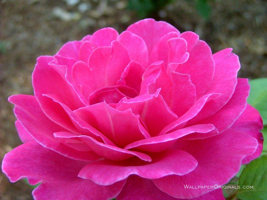 bright pink rose Beautiful flowers, Pink flowers, Flowers