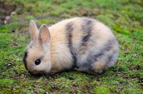 Harlequin bunny - So pretty! | Cuddly Bunnies | Pinterest ...