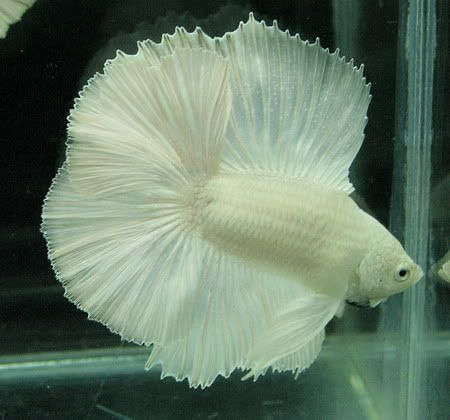 White Halfmoon Betta | Fishes: Fancy Bettas | Pinterest ...