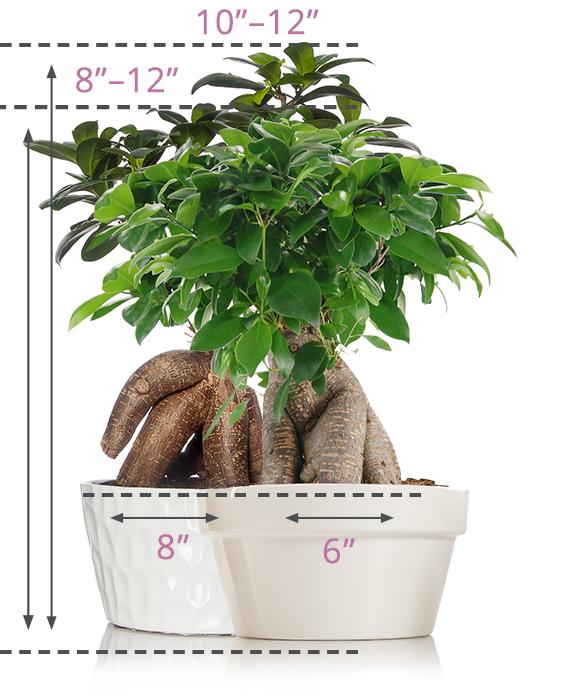 Bonsai Size Guide Bonsai Tree Indoor Bonsai Tree Bonsai