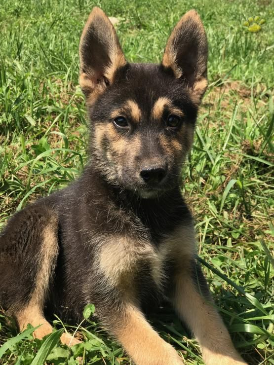 Bolto Siberian Husky Mix Puppy For Sale In Fresno Oh Lancaster Puppies Siberian Husky Mix Husky Husky Mix