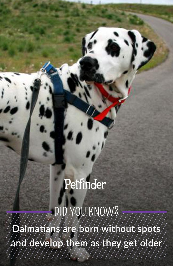 Fun dog fact: Dalmatian puppies are born completely white and develop spots as they get older.