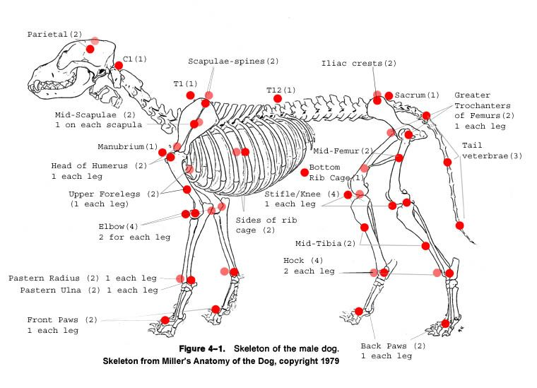 canine skeleton chart | Marker Locations for Motion Capture of a ...