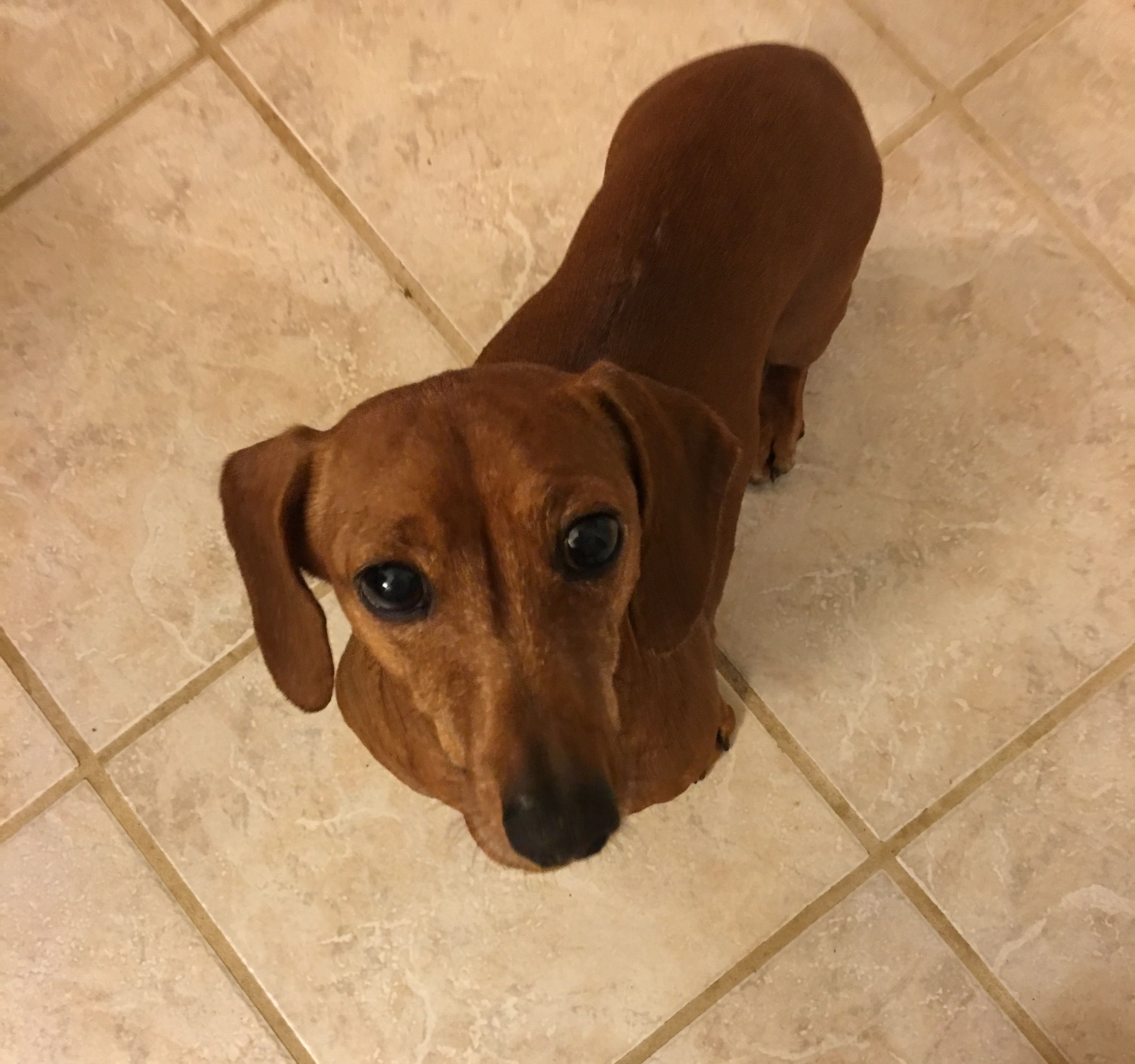 Meet Maggie Mae She Is Ready For Her Furever Home Dachshund