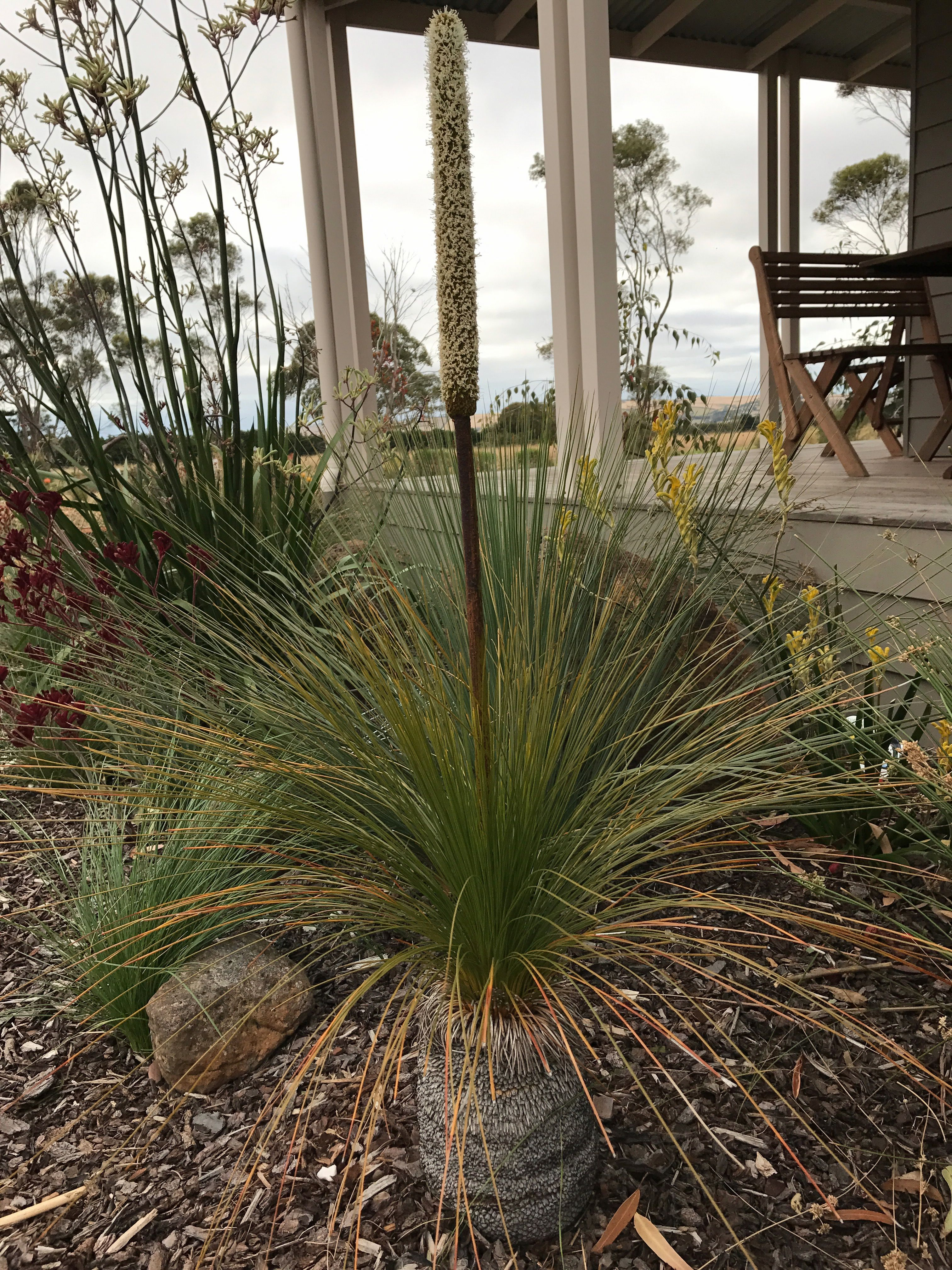 Grass Tree (Xanthorrhoea Australis) with flower spike