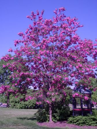Robinia pseudoacacia purple robe purple robe black locust robinia pseudoacacia purple robe purple robe black locust by nranney via flickr mightylinksfo