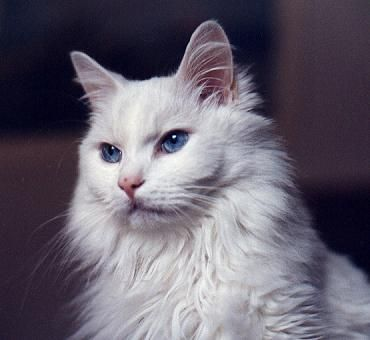 Turkish Angora Such Beautiful Cats Although The Blue Eyes Are Linked To Deafness Angora Cats Turkish Angora Cat Pets