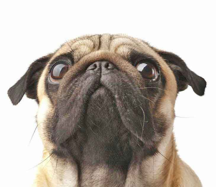 Pug Names For The One Of A Kind Male Or Female Pictures Of Pug
