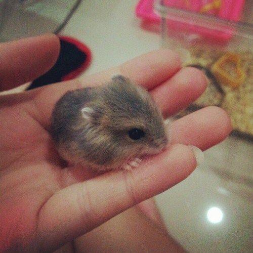 Resultado De Imagen Para Imagenes De Hamsters Gerbille Animaux Trop Mignon Hamster