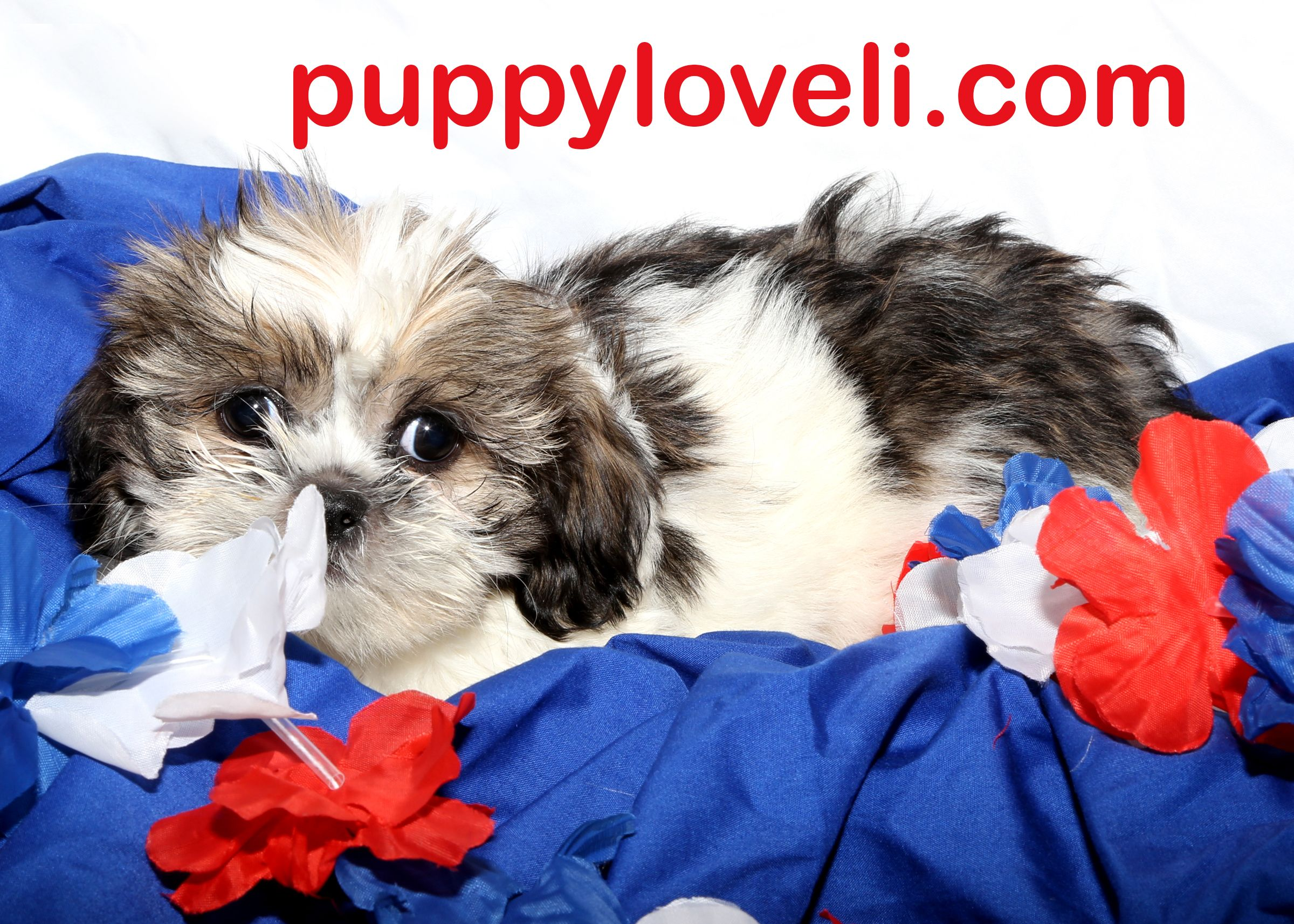Lhasa Apso for sale on Long Island  Puppy Love in Franklin
