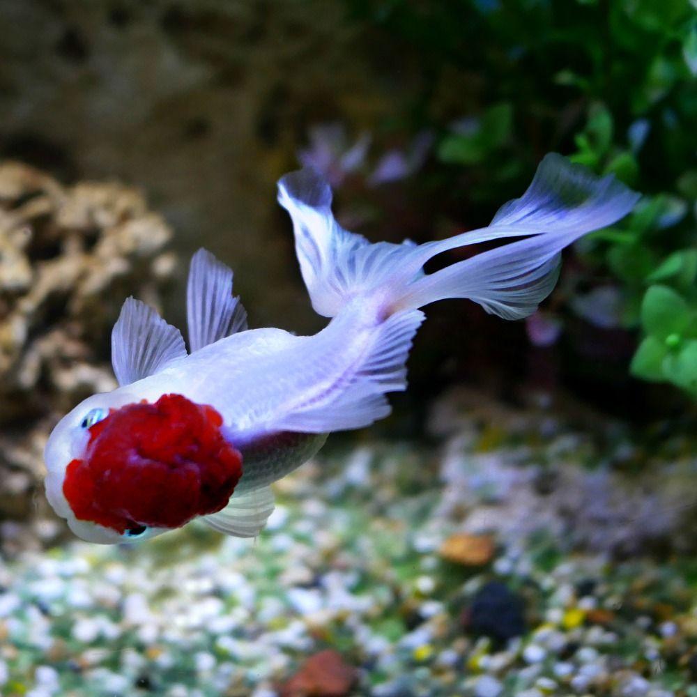 Fancy Goldfish For Sale 11 12cm Red Cap Oranda Best Environment Aquarium Or Pond Best Tank Mates Any Other Fanc Oranda Goldfish Goldfish Tank Goldfish For Sale