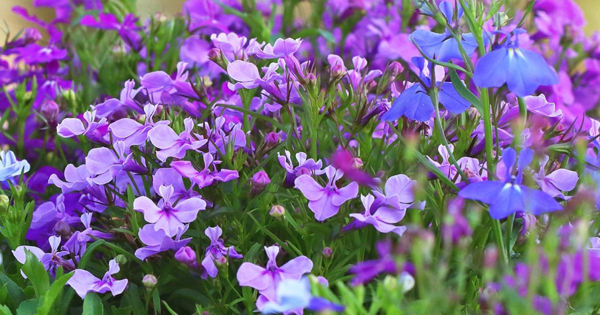 Diep Flower Lobelia Erinus Google Search Lobelia Flowers Flower Care Flowers
