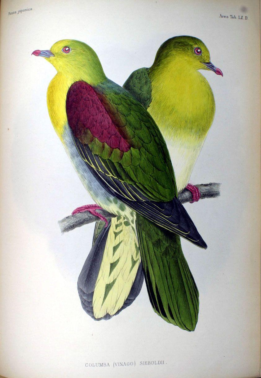 Description des oiseaux observés au Japon par les voyageurs Hollandais (1842) Columba sieboldii; Vinago sieboldii