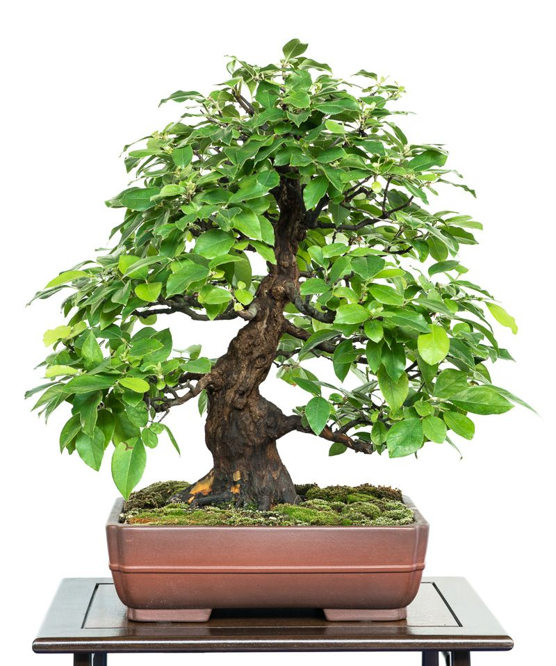 Psuedocydonia sinensis bonsai tree bonsai pinterest for Bonsai hydrokultur
