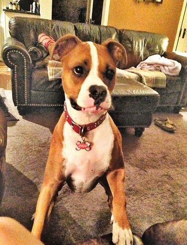 my babygirl kaja pitbull boxer mix dog Cute Puppy