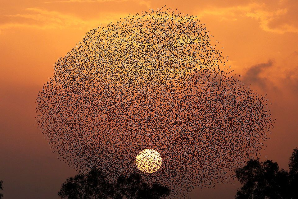 A huge flock of starlings in Tidhar village, Israel