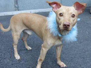 ROCKET – A0999347 ***RETURNED 06/11/16*** NEUTERED MALE, TAN / WHITE, CHIHUAHUA SH / PIT BULL, 2 yrs, 7 mos OWNER SUR – EVALUATE, HOLD RELEASED Reason MOVE2PRIVA Intake condition UNSPECIFIE Intake Date 06/11/2016, From NY 11208, DueOut Date 06/11/2016