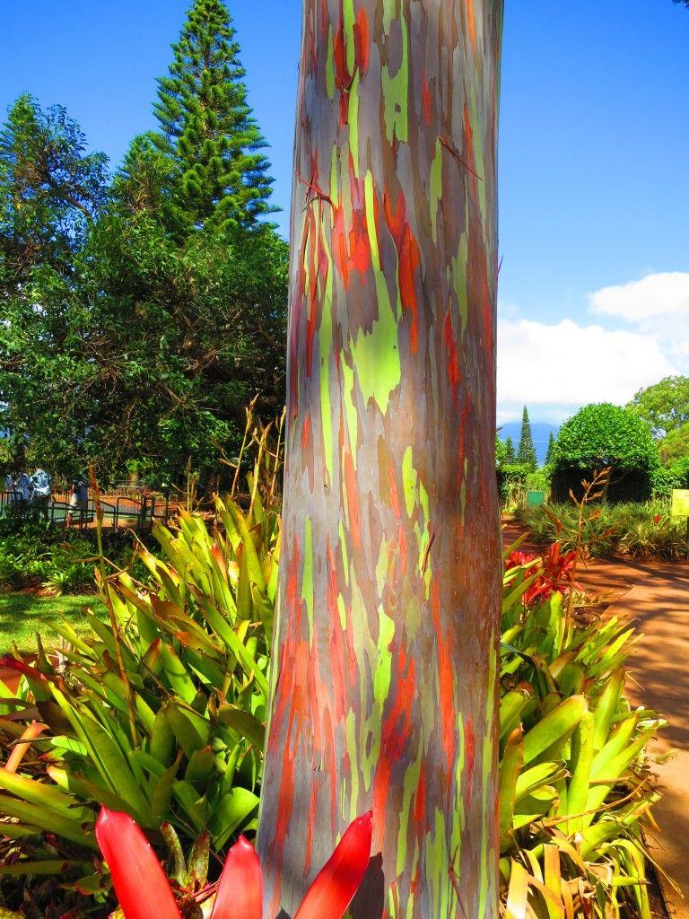 Rainbow Eucalyptus Tree Oahu Rainbow Eucalyptus Tree Rainbow