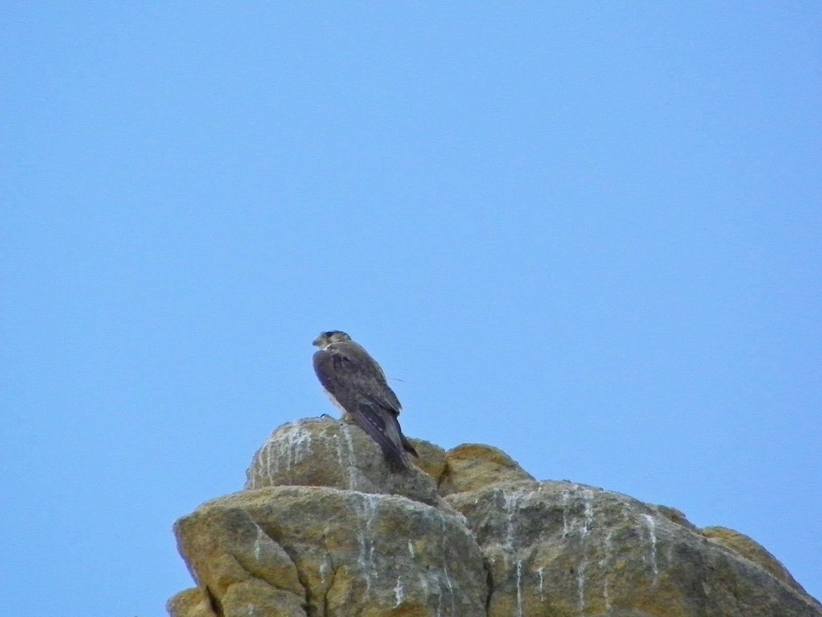 Mother Prairie Falcon, Monument Rock