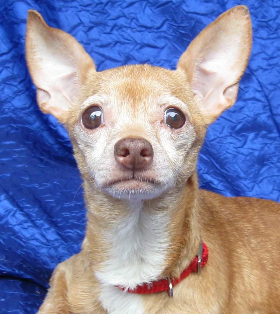 Chihuahua Dog For Adoption In Cuba Ny Adn 641781 On Puppyfinder